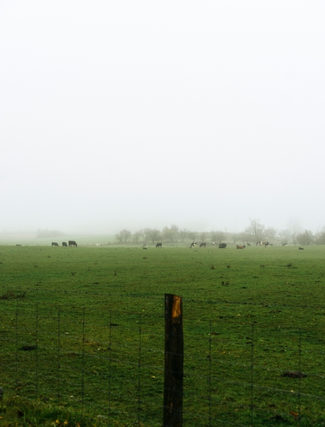 cows in the fog_2